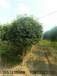 供應長沙跳馬綠化苗木、瀏陽柏加桂花、瀏陽造型羅漢松基地
