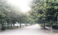 因道路改建,超低价出售大棵榕树胸径30-60树型优美。