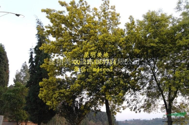 种子种苗 银荆树种子圣诞树种子当年新采  供应商家:昆明美地苗木育种