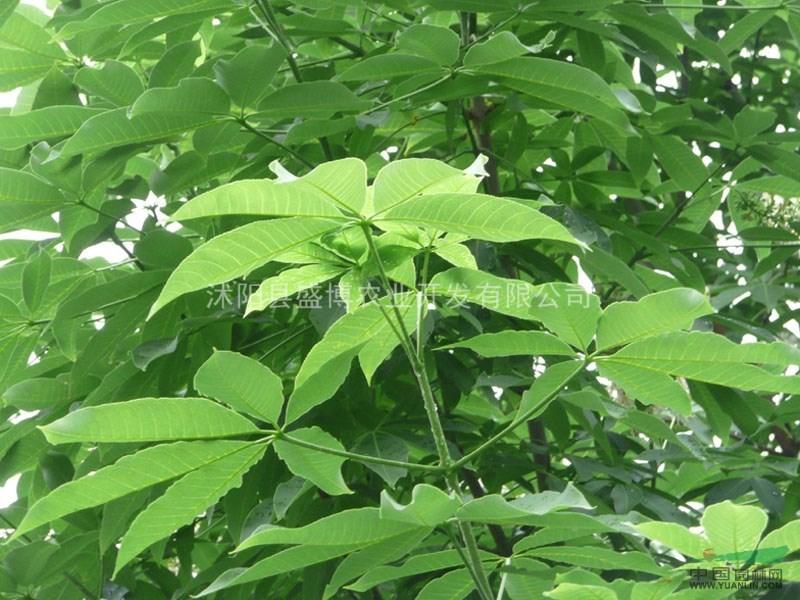 七叶树苗木价格_七叶树直径25公分七叶树最新价格绿化苗木