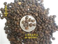 台湾相思种子当年新采