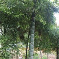 龟甲竹,浙江龟甲竹