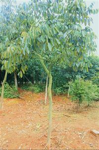 红豆树、浙江红豆树、花梨木