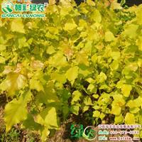 欧洲金叶杨 杨树小苗价格 杨树图片 金叶杨出售 彩化苗木小苗