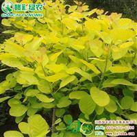 优良彩叶树 金叶黄栌树 烟状花絮植物 黄栌图片