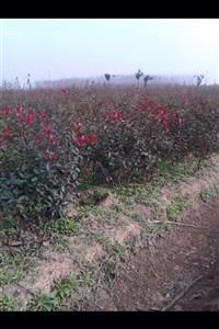 肥西各种规格红叶李乌桕三角枫红叶石楠桂花