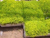 高羊茅草坪 高羊茅草坪价格4.4元/方 高羊茅草种