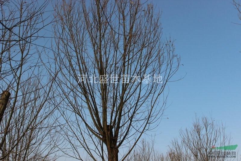 供应优质旱柳苗 柳树基地供应馒头柳苗 柳树苗