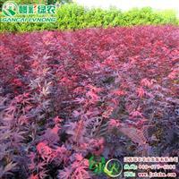 四季红红枫 四季红红枫出售  彩叶系列巅峰 江西绿农