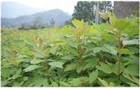 大量檫树小苗出售、檫树小苗价格、江西檫树苗报价、檫树小苗报价