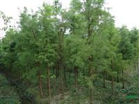 浙江地区供应2-25公分池杉