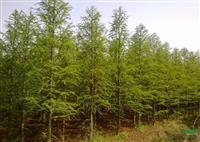 浙江地区供应2-15公分中山杉
