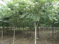 浙江地区供应2-30公分榉树