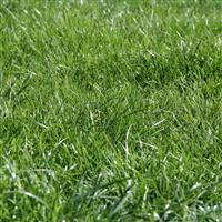 进口草坪种子 高羊茅种子 抗寒耐旱 销售高羊茅草种 批发