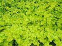 江苏苗圃供应 金叶过路黄、金叶过路黄小苗、金叶过路黄工程苗