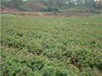 枫香、木荷、杜英、香樟、湿地松、杉苗、檫树等造林小苗大量货源