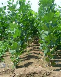 [供应]大量批发速生法桐苗 臭椿 香樟 楸树 枇杷 皂角