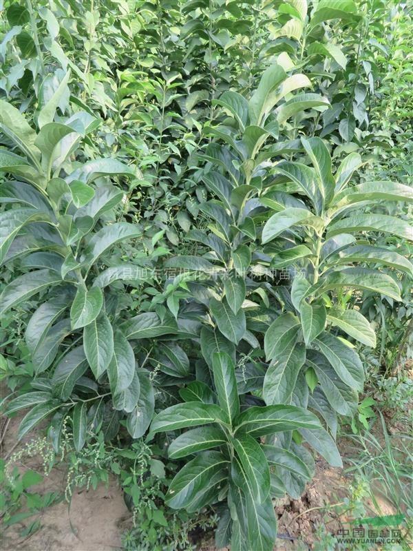 大叶丝绵木,宽叶丝棉木,长叶丝绵木图片
