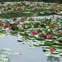 蚌埠大量供应西湖荷花,和优质睡莲本苗圃基地500亩量 大优惠