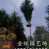 南京雪松 4米雪松价格是多少 雪松价格分析