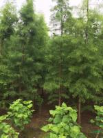 水杉、池杉、中山杉、落羽杉、墨西哥落羽杉