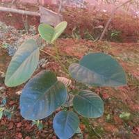 供应印度檀香紫檀 小叶紫檀苗 紫檀种子