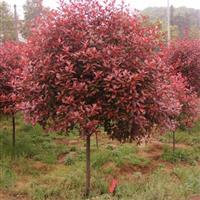 红叶石楠红叶石楠苗 红叶石楠球红叶石楠树高杆红叶石楠快乐飞艇绿化