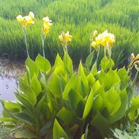 水生美人蕉水生植物美人蕉美人蕉小苗水生美人蕉价格园林绿化