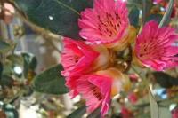 红花荷种子当年新采保证质量