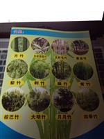 浙江竹子供应-方竹、白纹阴阳竹、花秆毛竹、黄纹竹、黎竹、刺竹
