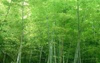 浙江竹子供应-麻竹、青竹、棕巴竹、大明竹、月月竹、四季竹等