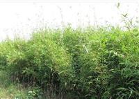 竹子直销凤尾竹、早园竹、慈孝竹、茶杆竹、翠竹、菲白竹、龟甲竹