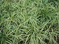 供应金叶苔草 金叶苔草苗 沭阳金叶苔草价格