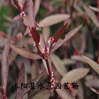 供应红莲子草 红莲子苗 沭阳红莲子草基地【各种地被植物】