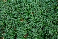 批发直销日本矮麦冬价格,(矮麦冬)玉龙草繁殖方法,玉龙草图片
