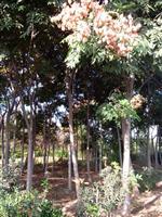 苗圃特供欒樹1--15公分規格齊全、數量比較大