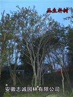 丛生朴树冠400---600公分、三角枫、红叶李榆叶梅、枫香