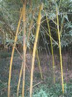 安吉县竹盛苗圃供应黄秆乌哺鸡竹等近百种观赏竹 秆色金黄