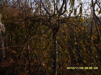 10公分垂枝樱花,垂枝樱花价格,樱花基地,樱花种植,销售