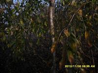 泰安12公分垂枝樱花,垂枝樱花价格,樱花基地,樱花种植,销售