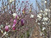 江苏苗场供应广玉兰、红玉兰、白玉兰、黄玉兰、紫玉兰价格等