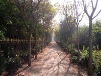 供应国槐1--20公分、国槐小苗、国槐大规格树等绿化苗木。