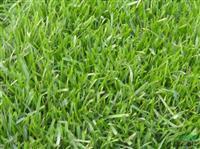 出售 【进口草坪种子】观赏草坪 早熟禾草种 早熟禾草种批发