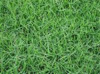 批发全国各种进口草坪种子 矮生百慕大 狗牙根草种 矮生百慕达