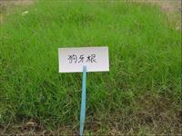 供应各种进口草坪种子 狗牙根草种 狗牙根草坪供应商