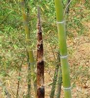 乌哺鸡竹,黄杆乌哺鸡竹,黄杆乌哺鸡竹价格,黄杆乌哺鸡竹供应