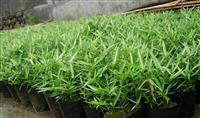 菲白竹,菲白竹价格,菲白竹供应,菲白竹图片