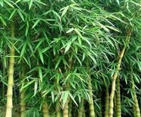 佛肚竹,佛肚竹供应,佛肚竹价格,佛肚竹图片
