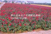 浙江地区红帽子月季直销供应报价