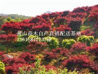萧山 日本红枫中国红枫 自产直销配送基地供应报价